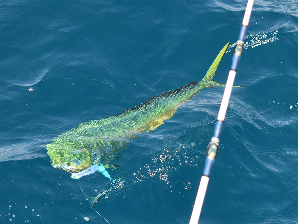 Mahi-Mahi-fish-slideshow