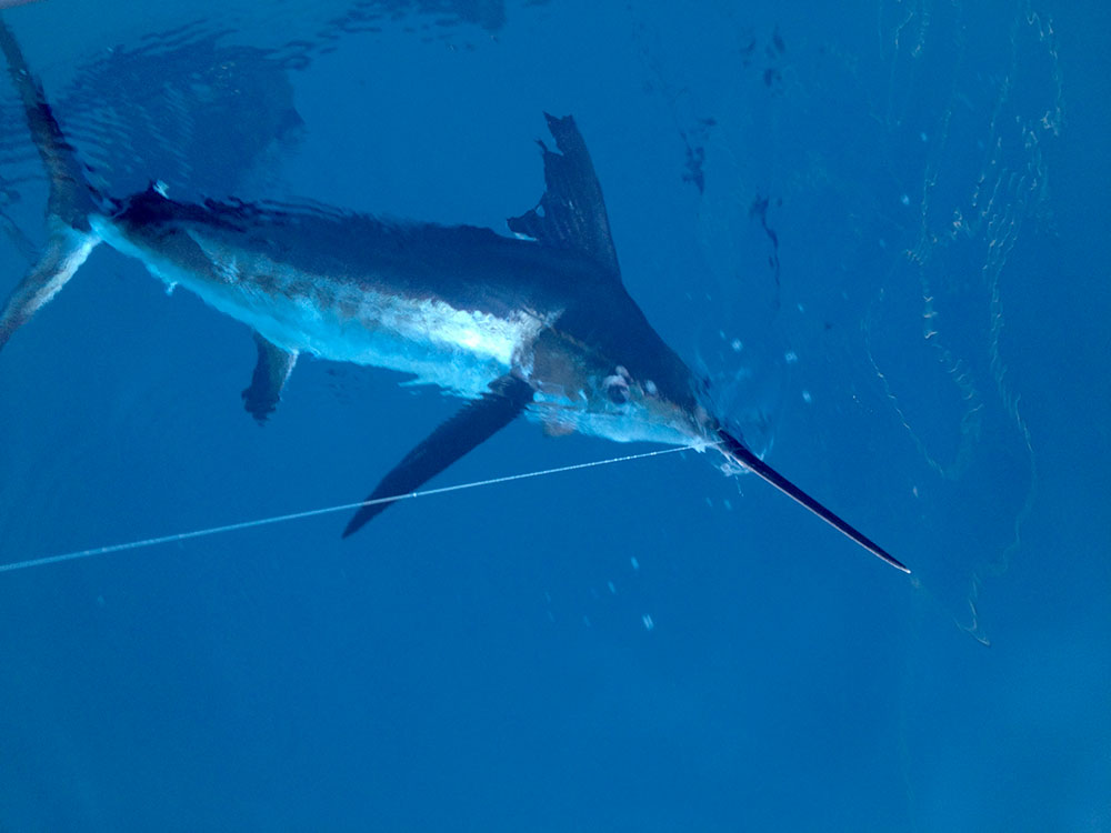 White-Marlin-fish-slideshow